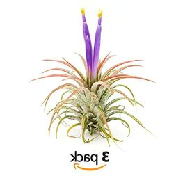 The Drunken Gnome AIR PLANTS – IONANTHA SMALL – 3 PACK -